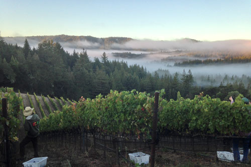 Big Basin Vineyards Harvest 2014